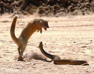 mangouste contre cobra